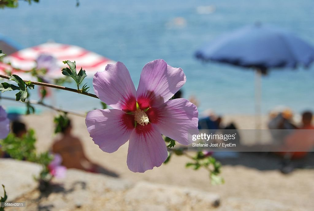 Close-Up Of Pink Flower Blooming On Beach : Stock Photo