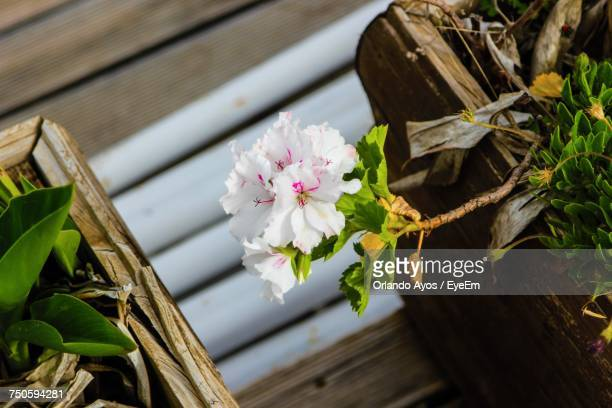 close-up of pink flower blooming on wooden post - special:whatlinkshere/file:lucerne_circle,_orlando,_fl.jpg stock pictures, royalty-free photos & images