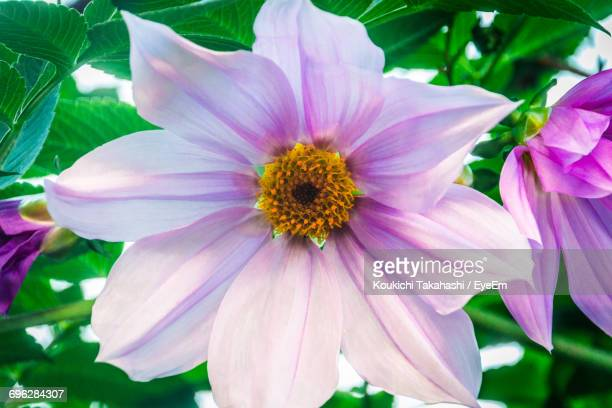 close-up of pink flower blooming outdoors - koukichi ストックフォトと画像