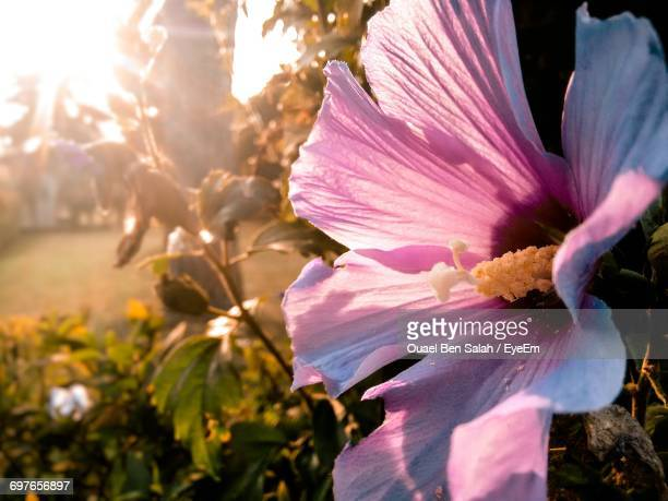 close-up of pink flower blooming outdoors - salah stock photos and pictures