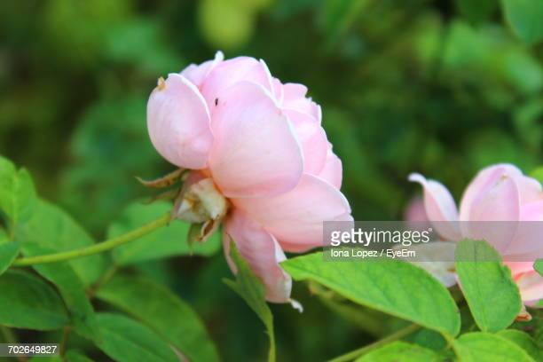 close-up of pink flower blooming outdoors - lopez stock pictures, royalty-free photos & images