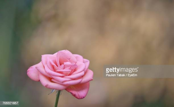 close-up of pink flower blooming outdoors - paulien tabak foto e immagini stock