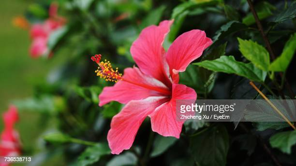close-up of pink flower blooming outdoors - hibiscus stock pictures, royalty-free photos & images