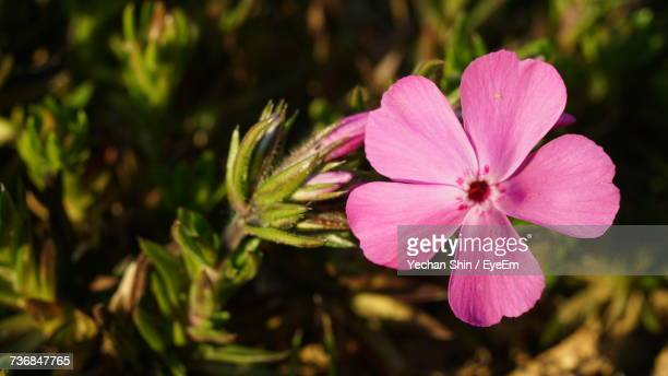close-up of pink flower blooming outdoors - flower part stock pictures, royalty-free photos & images