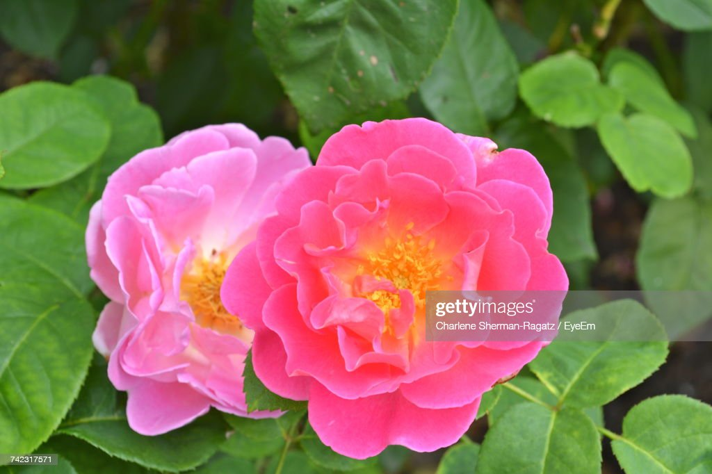 Close-Up Of Pink Flower Blooming Outdoors : Stock Photo