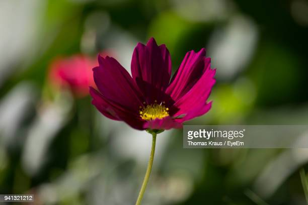 Close-Up Of Pink Flower Blooming Outdoors