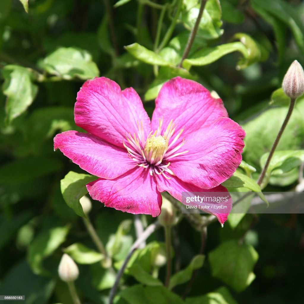 Close-Up Of Pink Flower Growing In Field Against Clear Sky : Stock Photo
