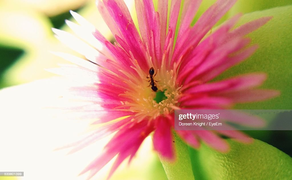 Close-Up Of Pink Flower On Ant : Foto stock