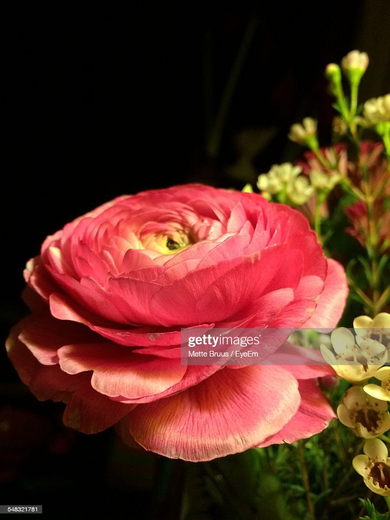Closeup Of Pink Flower Over Black Background Stock Photo Getty Images