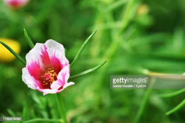 close-up of pink flower - thai mueang photos et images de collection