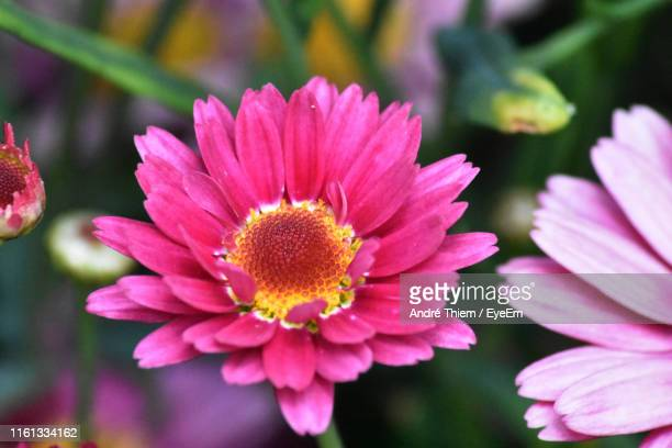 close-up of pink flower - thiem stock pictures, royalty-free photos & images