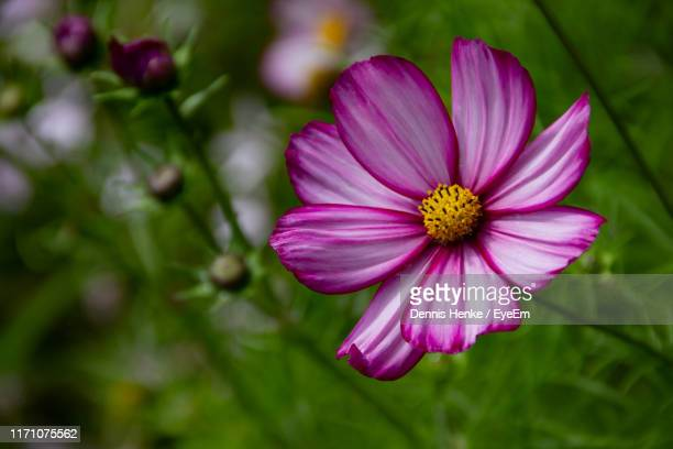 close-up of pink flower - scotland stock pictures, royalty-free photos & images