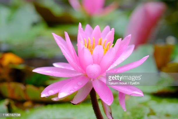 close-up of pink flower - inoue stock photos and pictures