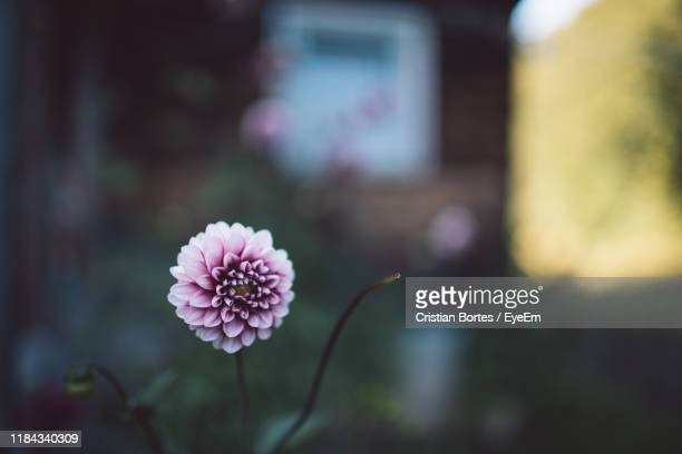 close-up of pink flower - bortes stock photos and pictures