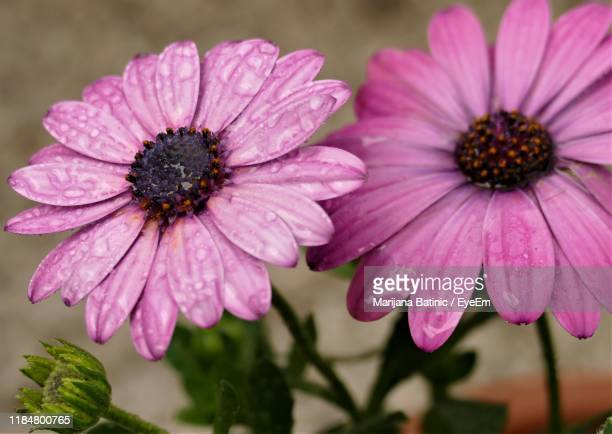 close-up of pink flower - marijana stock pictures, royalty-free photos & images