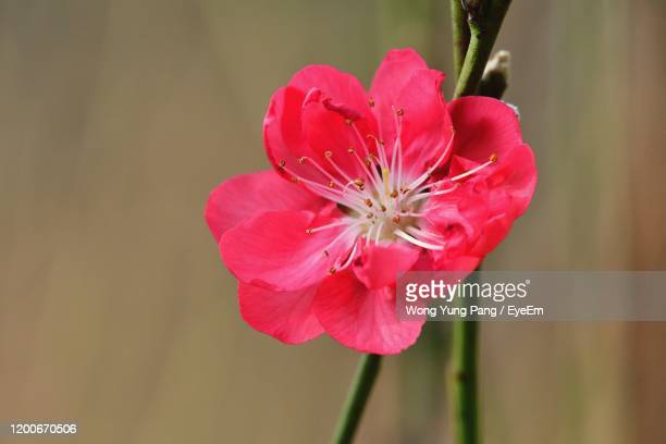 close-up of pink flower - peach blossom stock pictures, royalty-free photos & images