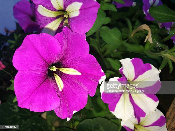 close-up of pink flower - cisternino stock photos and pictures