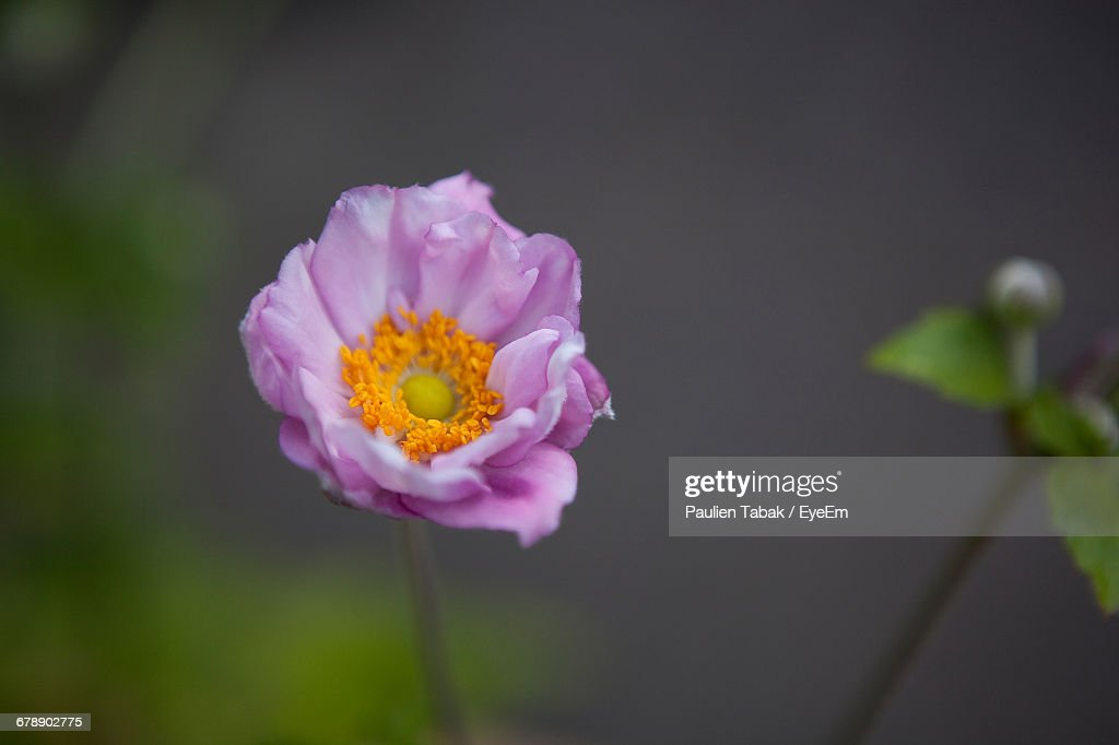 Close-up Of Pink Flower : Stockfoto