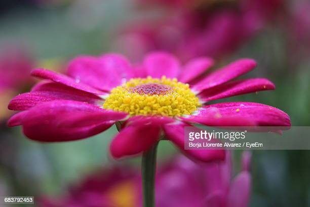 close-up of pink flower - llorente stock pictures, royalty-free photos & images