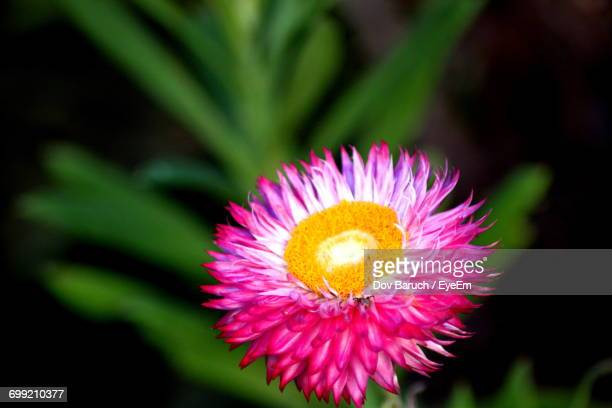 close-up of pink flower - barulho stock pictures, royalty-free photos & images