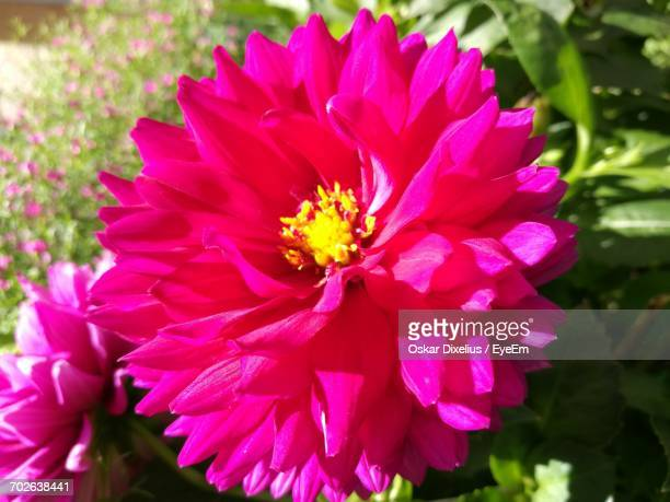 close-up of pink flower - oskar stock pictures, royalty-free photos & images