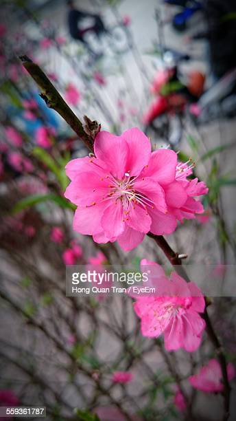 close-up of pink flower tree - hong quan stock pictures, royalty-free photos & images
