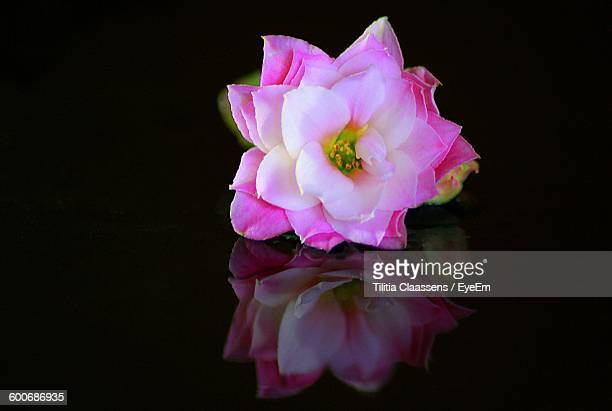 Close-Up Of Pink Flower With Reflection Against Black Background