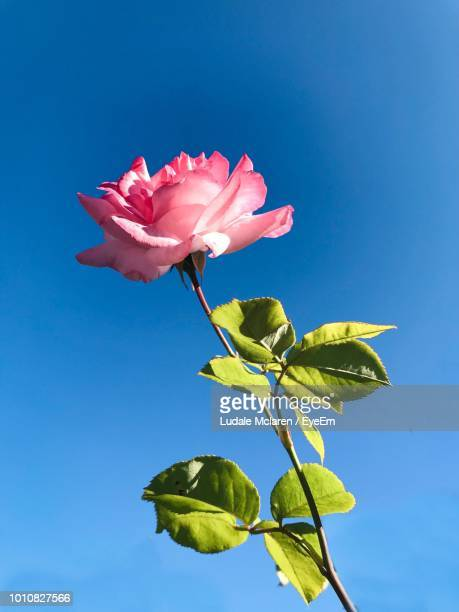 close-up of pink flowering plant against blue sky - borough of lewisham stock pictures, royalty-free photos & images