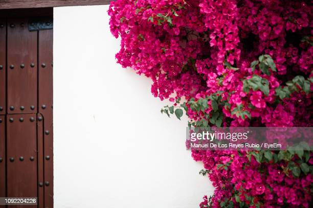 close-up of pink flowering plant against house - bougainville stock photos and pictures
