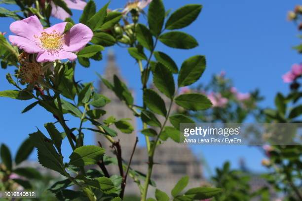 Close-Up Of Pink Flowering Plant Against Sky