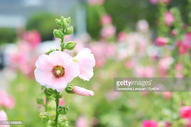 close-up of pink flowering plant in park - hollyhock stock pictures, royalty-free photos & images