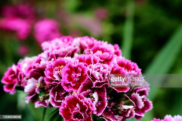 close-up of pink flowering plant - klein foto e immagini stock
