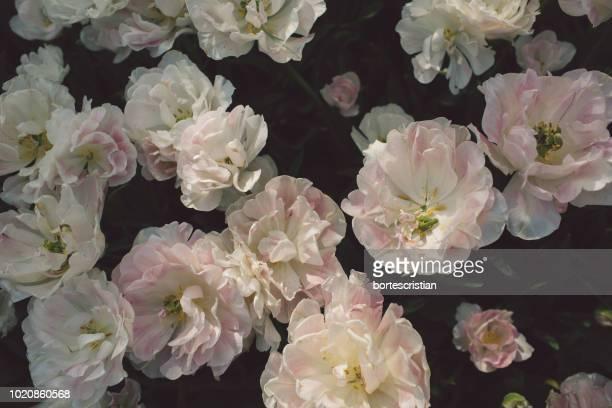 close-up of pink flowering plant - bortes stockfoto's en -beelden