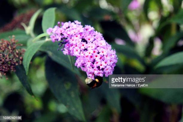close-up of pink flowering plant - lantana stock pictures, royalty-free photos & images