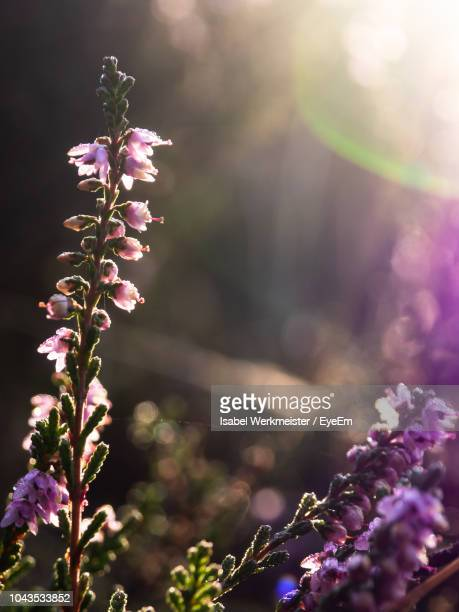 close-up of pink flowering plant - lüneburg stock pictures, royalty-free photos & images