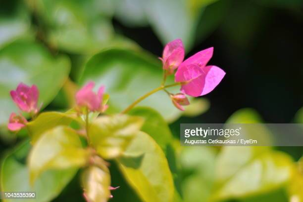 close-up of pink flowering plant - cetkauskas stock pictures, royalty-free photos & images