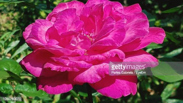 close-up of pink flowering plant - gabriela stock pictures, royalty-free photos & images