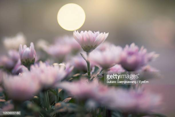 close-up of pink flowering plant - pink moon stock pictures, royalty-free photos & images