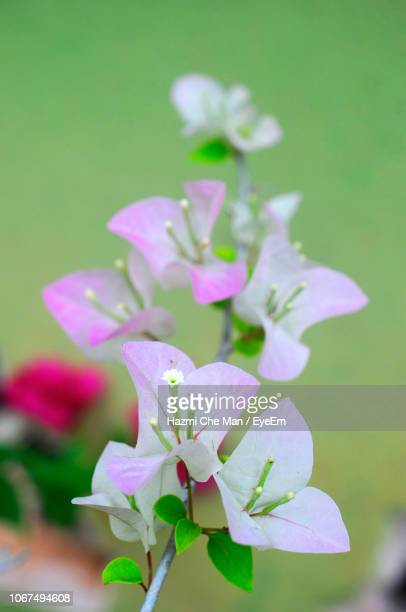 close-up of pink flowering plant - frische stockfoto's en -beelden