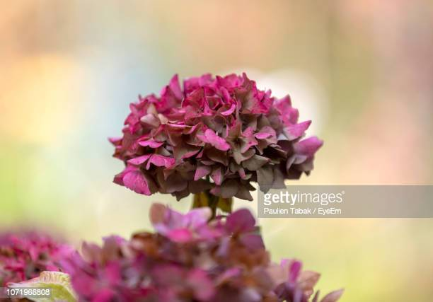 close-up of pink flowering plant - paulien tabak stock pictures, royalty-free photos & images