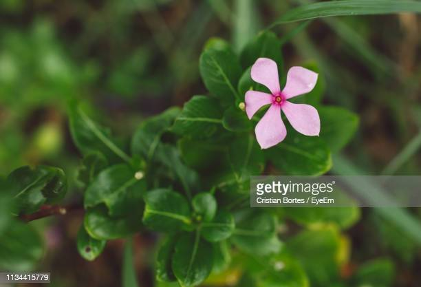 close-up of pink flowering plant - bortes stockfoto's en -beelden