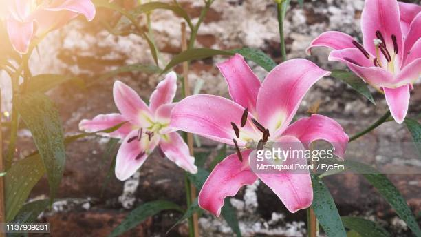 close-up of pink flowering plant - metthapaul stock photos and pictures