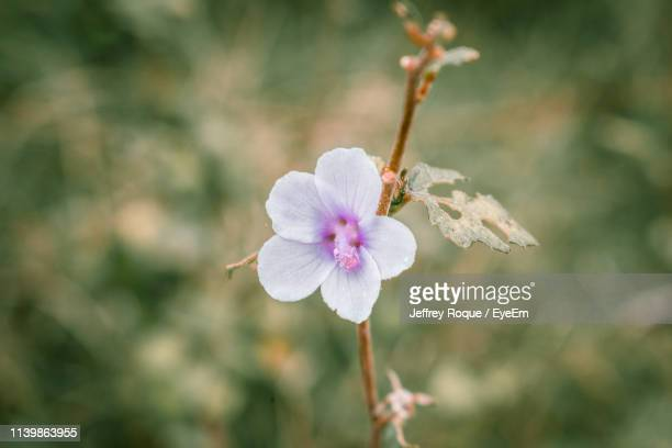 close-up of pink flowering plant - jeffrey roque stock photos and pictures