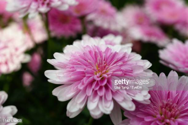 close-up of pink flowering plant - lisa tang stock photos and pictures