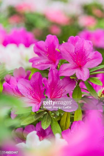close-up of pink flowering plant - azalea stock pictures, royalty-free photos & images