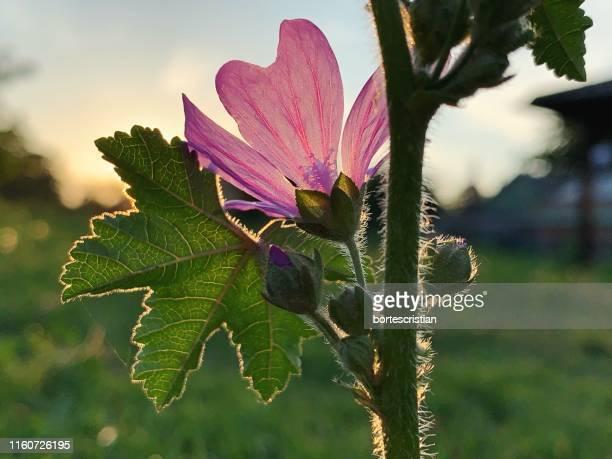 close-up of pink flowering plant - bortes stock-fotos und bilder