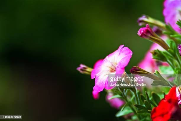 close-up of pink flowering plant - heinovirta stock photos and pictures