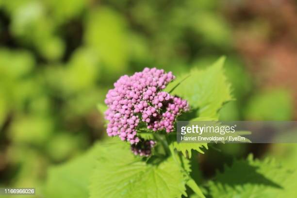 close-up of pink flowering plant - harriet stock photos and pictures