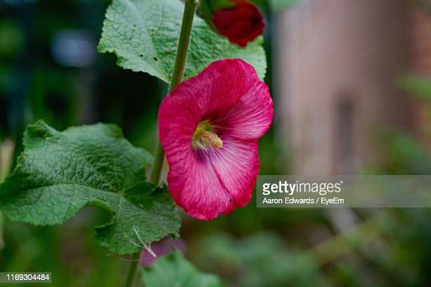 close-up of pink flowering plant - tetbury stock pictures, royalty-free photos & images