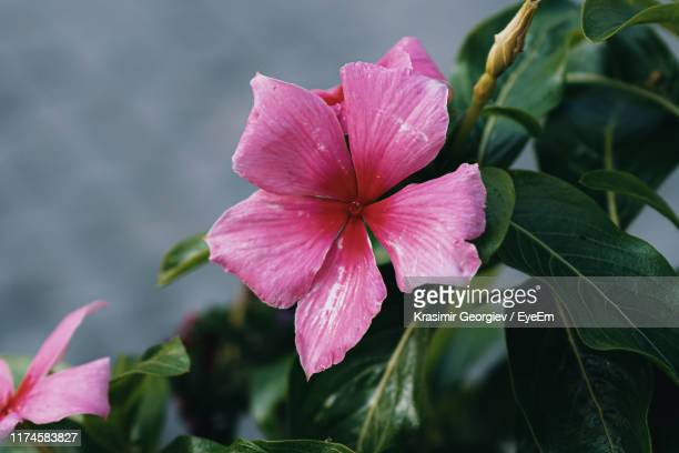 close-up of pink flowering plant - krasimir georgiev stock photos and pictures